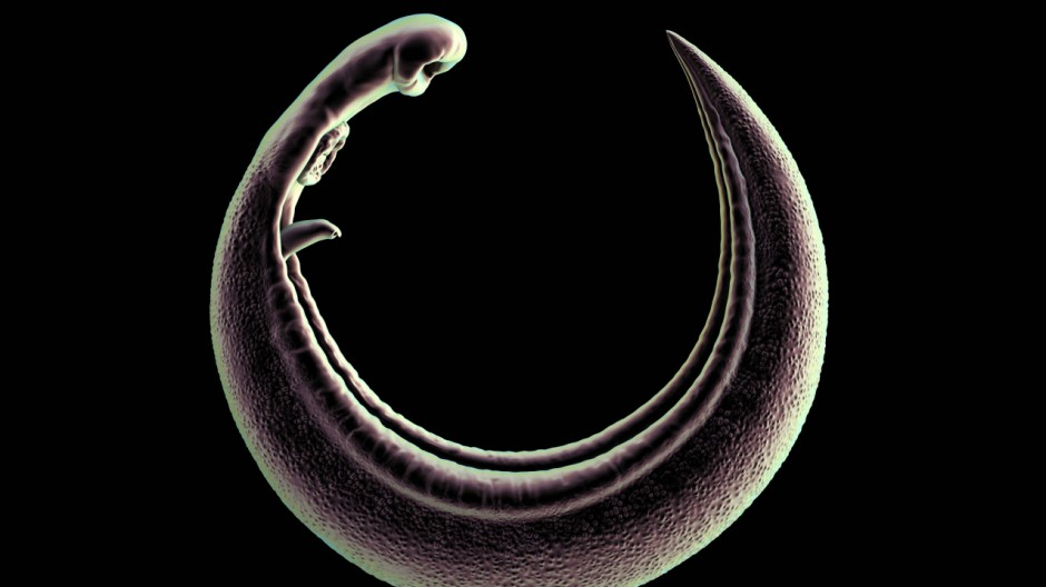 Parasitic flatworm artwork Parasitic flatworm Schistosoma sp computer artwork This is a cause
