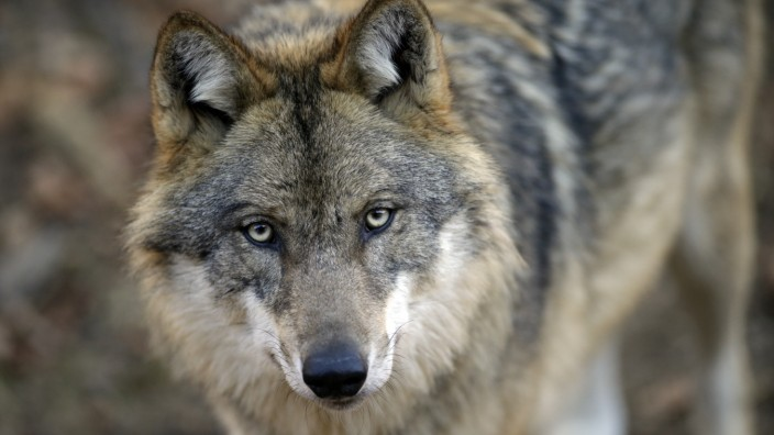 Ludwigsthal: Wölfe im Bayerischen Wald / Nationalparkzentrum Falkenstein