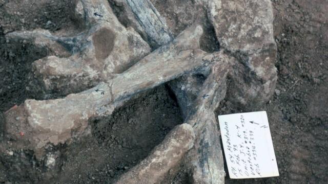 Ausgrabung eines Mammuts