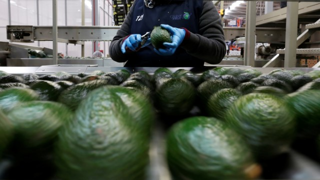 Employees remove stalks from avocados in the Global Fruit Packing Company in Uruapan, in Michoacan state, Mexico