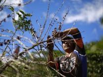 A man picks ripe coffee beans on a plantation in San Isidro de Alajuela