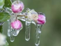Eispanzer gegen Frostschäden bei Blüten