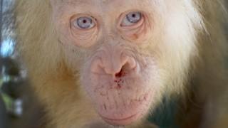Albino Orang-Utan auf Borneo gefunden