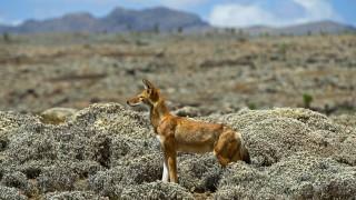 Abessinischer Fuchs Aethiopischer Wolf Canis simensis auf der Jagd Aethiopien Oromiya Bale Mo