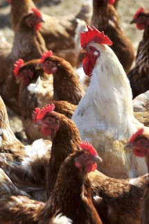 Unering Hühner