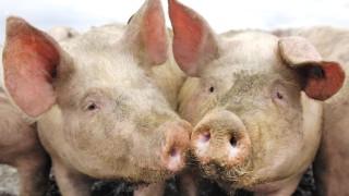 Unering Schweine