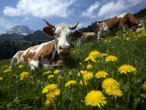 Cows graze on dandelion flowers on the Prooveta pasture on the first day of the season in Gruyere