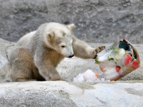 Eisbaeren: Mutter Giovanna und Tochter Quintana; Eisbär Mädchen Quintana im Tierpark Hellabrunn