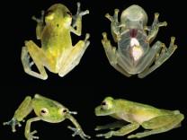 Tropenfrosch Grass frog Grasfrosch Centrolenidae, Hyalinobatrachium from Amazonian Ecuador
