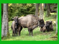 ***BESTPIX***  European Bison Project Seeks A Return To The Wild