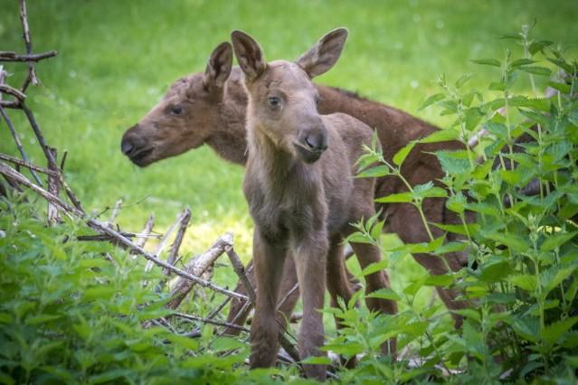 Tierpark Hellabrunn, Nachwuchs bei den Elchen