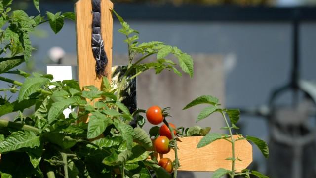 Streit zu Ende - Tomaten dürfen aufs Grab