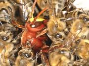 Bienen kämpfen gegen Hornisse