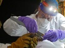 Ebola und Flughunde