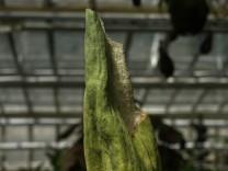 Die Titanenwurz im Botanischen Garten wird blühen