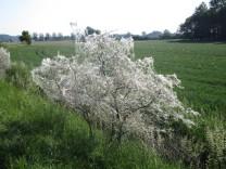 Das weiße Netz auf den Büschen stammt von den Larven der Gespinstmotte
