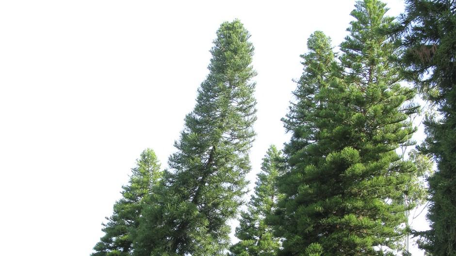 Bäume Schiefe Bäume
