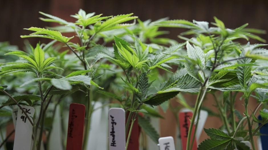 Cannabis Medizinisches Cannabis