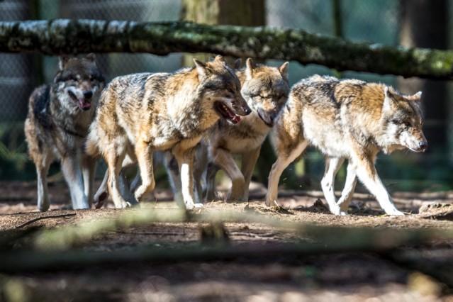 Wolfsrudel in Bayern möglich