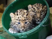 Zoo Leipzig sucht Namen für seine Amurleoparden