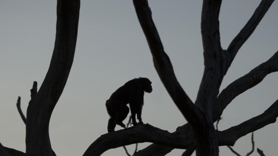 Rehabilitating Chimpanzees - A Labour Of Love