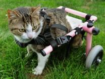 Rollstuhl-Katze Brigitta soll operiert werden
