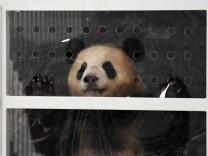 Pandas für den Berliner Zoo