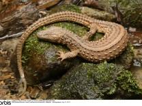 Earless Monitor Lizard (Lanthanotus borneensis), Malaysia