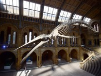 A giant blue whale skeleton is unveiled in the Hintze Hall at the Natural History Museum, London