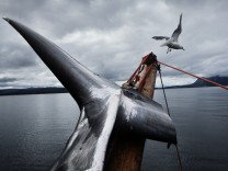 Hunting Minke whale on the Jan Bjorn in Lodingen, Lofoten, Norway. Whaling in Norway continues despite an international ban. Norway has a quota of 1286 whales per year, but rarely do the boats kill more than 500 as they simply can not find a demand for th