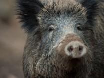 Mehr Wildschweine - Sorge wegen hohem Bestand