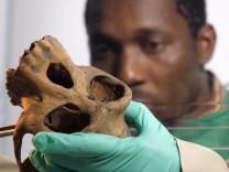 Doktorand Etile Anoh nimmt Proben von einem Schimpansenschädel.