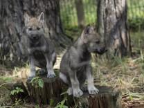 Zwei von drei jungen Wölfen im Wildpark Schorfheide in Groß Schönebeck Landkreis Barnim im Biosphä