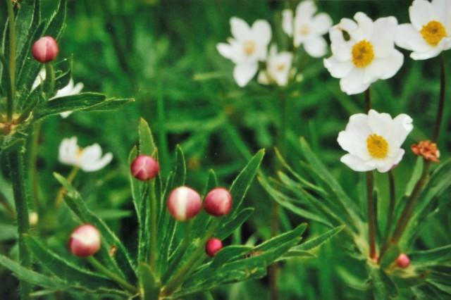 Narzissenblütige Anemonen am Mesnerbichl