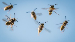 Anflug der Wespen