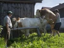 Zuchtstier Naz, Bauernhof der Familie Heller in Grinzing, Wurmannsquick, 2017