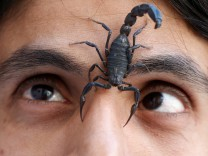 A scorpion walks on the face of Palestinian man Nabeel Mussa, who keeps scorpions and snakes as a hobby and eats them, at his house in Riyadh