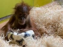 Orang-Utan-Nachwuchs im Fußballfieber