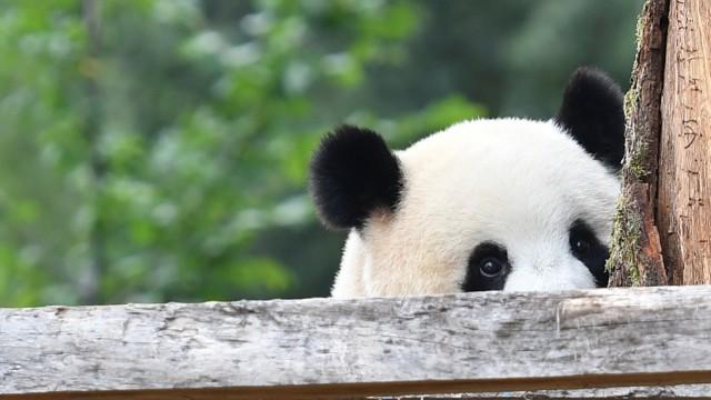 Meng Meng sucht den Blickkontakt