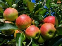 Obstbauern rechnen mit Einbußen bei der Apfelernte