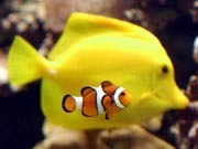 Riffe, Zyanid, Fischfang, Clownfisch Aquarienfische