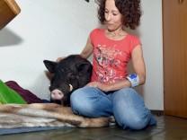 Tierserie Hausschwein
