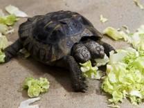 Zweiköpfige Schildkröte hat 20. Geburtstag