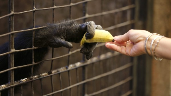 More than 3,000 wild great apes are illegally seized from the jun