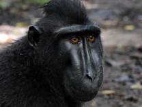 Selfie-Streit des Affen Naruto beigelegt