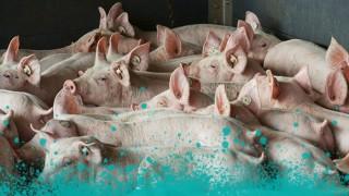 Schweinezucht