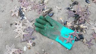 Seesterne am Strand bei Bergen aan Zee Nordholland in den Wintertage wurde viele tausend Seestern