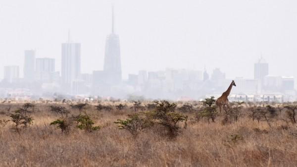 160923 NAIROBI Sept 23 2016 A giraffe walks inside the Nairobi National Park in Nairobi Ken