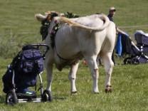 11 Verletzte Kuh dreht bei Fest durch und verletzt mehrere Menschen im Festzelt Beim Fest anlässli