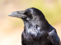 Kolkrabe Corvus corax Portrait seitlich Canyonlands National Park Utah USA Nordamerika Copyri